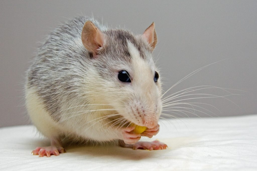 THE MYSTERY OF THE RATS